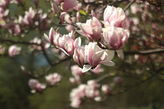 What Is So Upsetting About a Magnolia Tree?